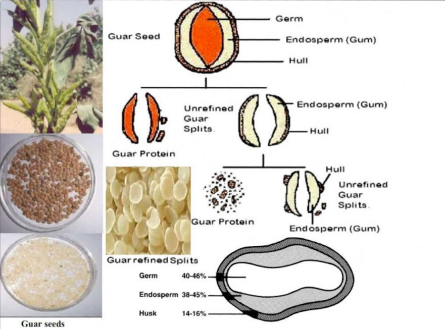 The Scientific Properties of Indian Beans